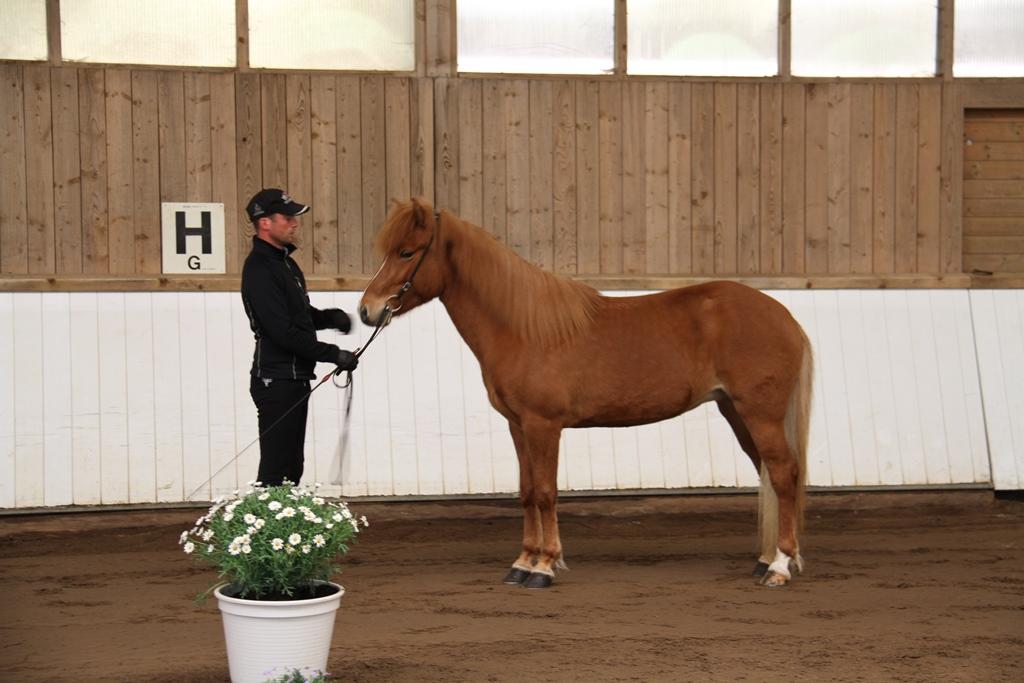 B la fr sy ri gegnish lum islandpferdehof toeltmyllan for Exterieur beurteilung pferd
