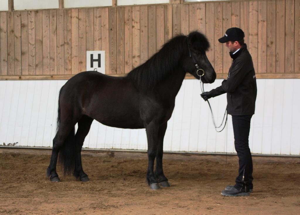 R ma von t ltmyllan islandpferdehof toeltmyllan for Exterieur beurteilung pferd